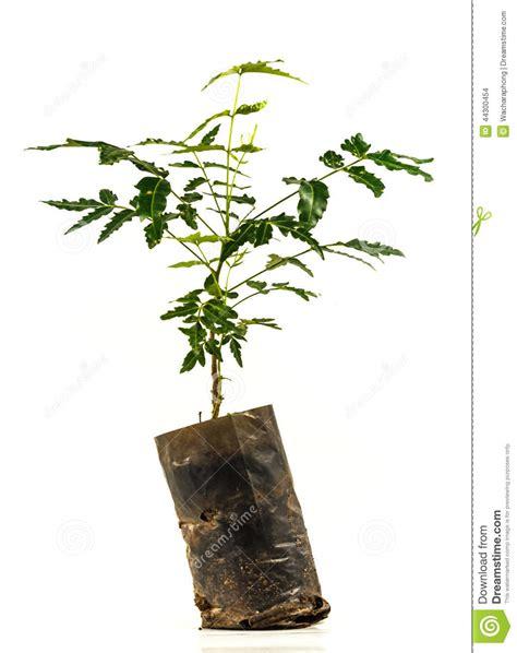 Neem Trees Stock Photo  Image 44300454