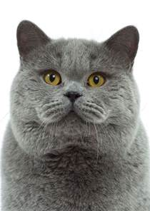 shorthair cat shorthair history personality appearance health