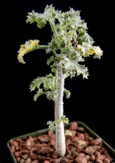 dendrosicyos socotrana cactus jungle