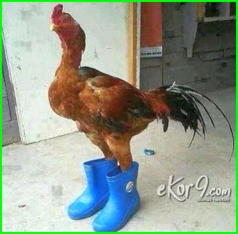 gambar lucu  pegang ayam ktawacom ayo ketawa