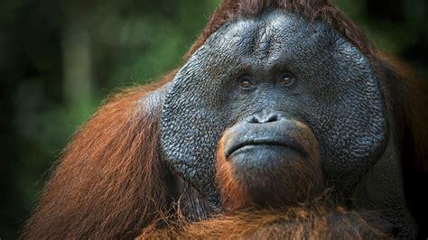 wallpaper orangutan brown  animals
