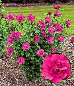 Lang Blühende Pflanzen : hibiskus magenta chiffon 1a pflanzen kaufen baldur garten ~ Eleganceandgraceweddings.com Haus und Dekorationen