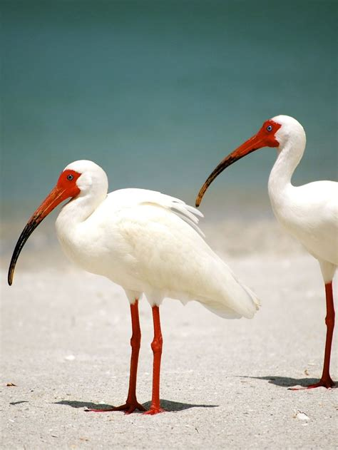 birds ibis florida bird orange animals naples pretty pink legs fl found face body pale animal bill beaches shorebirds indian