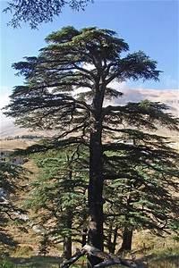 Cedar of Lebanon | Trees | Pinterest