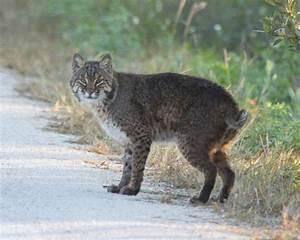 Wild Cats: The Bobcat – kimcampion.com
