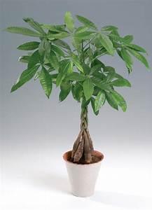 Money Tree (Pachira aquatica) | myGarden.org