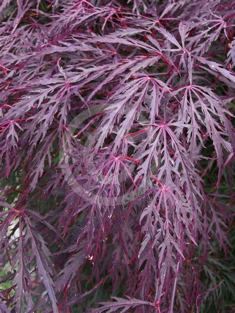 acer palmatum dissectum atropurpureum group purple lace