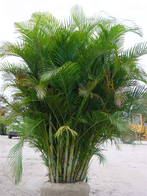 areca palm popular palm trees found in florida palm tree dr blog