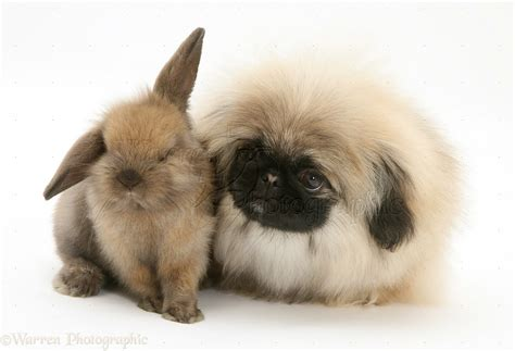 pets pekingese pup  baby lop rabbit photo wp