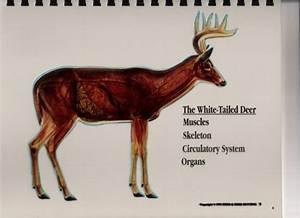 Ol U0026 39 Man Outdoors  Whitetail Deer Vitals Diagram