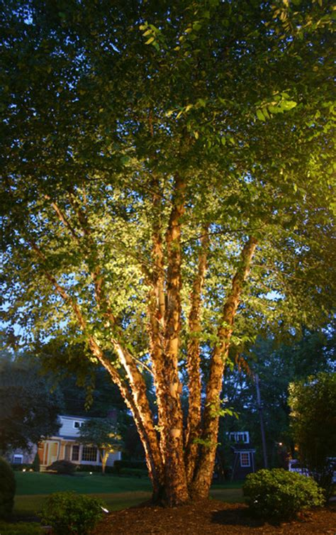 river birch tree lighting traditional landscape