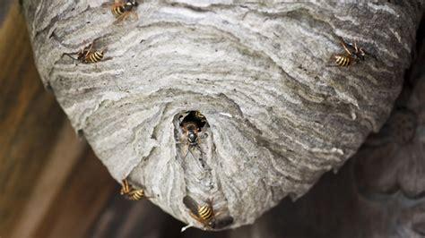 wespennest entfernen  es kostet und wann es erlaubt ist