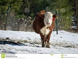 Beef Cow In Winter Stock Photos - Image: 23173973