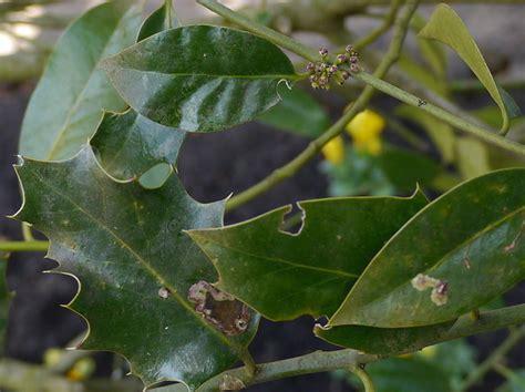 Wow Id Nachschauen by Was W 228 Chst Hier Gt Ilex Aquifolium Baumkunde Forum