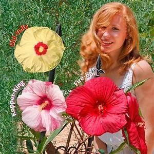 Riesen Hibiskus Kaufen : stauden sortiment riesen hibiskus online kaufen bei g rtner p tschke ~ Watch28wear.com Haus und Dekorationen