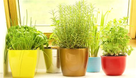 Herb Garden Indoor : Indoor Herb Garden-learn How And What Herbs To Grow Indoors