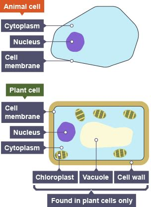 bbc bitesize national  biology cell division
