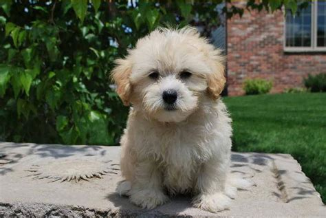 does maltipoo shed hair maltipoos