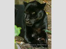 Ansicht wechseln Der Jaguar Kidogos Big Cats