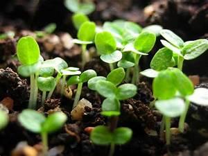 Culture Des Radis : semis et culture des radis d couvrez tout nos conseils ici ~ Melissatoandfro.com Idées de Décoration