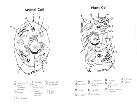 Animal And Plant Cell Diagrams  Printable Diagram
