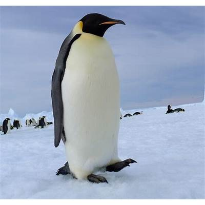 Emperor penguin by laogephoto on DeviantArt