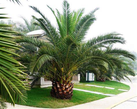 Pineapple Palm 5 seeds Phoenix canariensis Ornamental tree