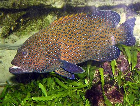 grouper hind peacock argus cephalopholis fish britannica oceans inhabits pacific known tropical indian which