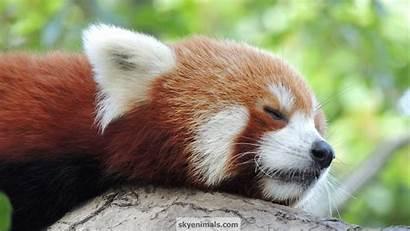 Panda Wallpapers Anime Desktop Animated Backgrounds Adorable