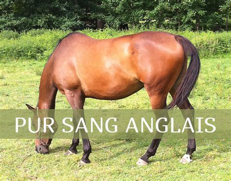 fiche race cheval pur sang anglais taille poids