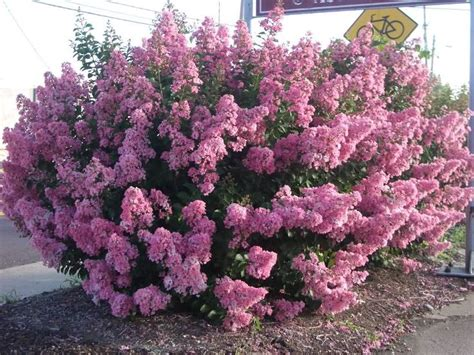 Crape Myrtle  Crape Myrtles Are Among The Toughest, Most