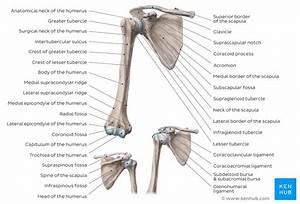 Learn Anatomy Of The Scapula With Quizzes And Diagrams