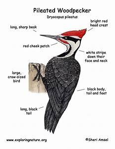 Woodpecker  Pileated