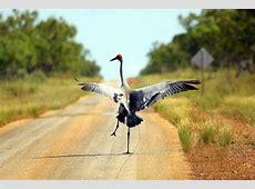 Brolga lift off ABC News Australian Broadcasting
