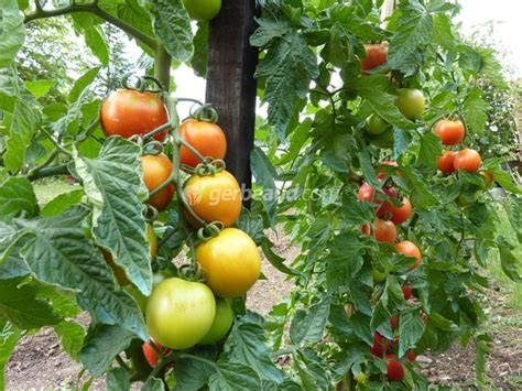 cuisine en facile tomate conseils de culture et plantation