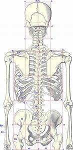 Human Skeleton Diagram Unlabeled 580x1200