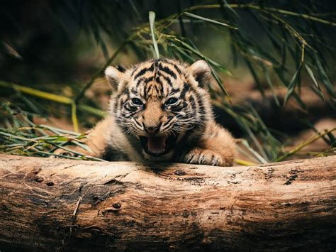 baby animals cute tigers  wallpaper hd wallpapers hd