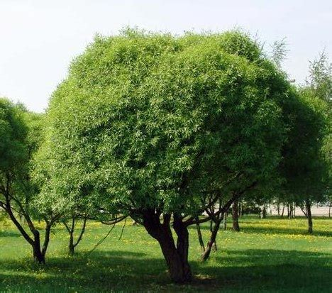 Salix fragilis 'Bullata' - Trauslais vītols