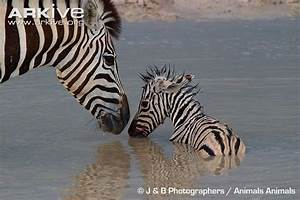Plains zebra photo - Equus quagga - G56057 | Arkive