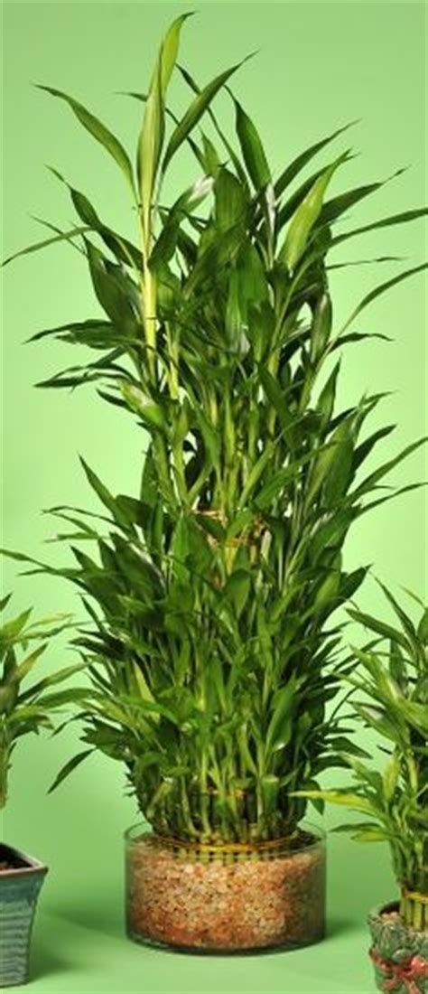 japanese bamboo plant care 1000 images about lucky bamboo on pinterest lucky bamboo lucky bamboo plants and bamboo plants