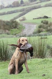Digital Etiquette Can I Change The Way My Gundog Holds Game Shooting Uk