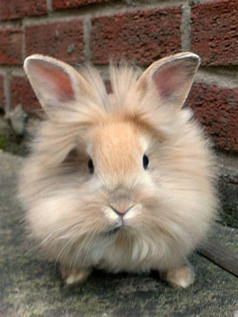 lionhead rabbit fuzzy today