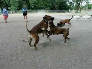 Boxer pit bull vs. Boerboel Showdown at dogpark - YouTube