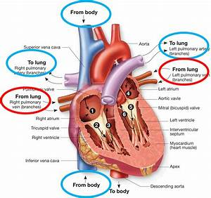 Anatomy And Physiology Of The Cardiovascular System - Do In Order At Malcolm X College