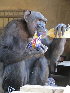 17 Best images about Chimpanzee Project on Pinterest ...