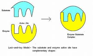 The Basics Of Enzymes