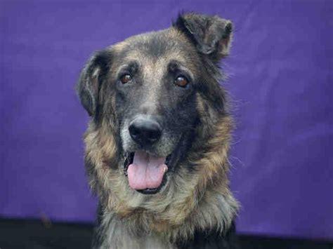 german shepherd dog dog  adoption  downey ca adn