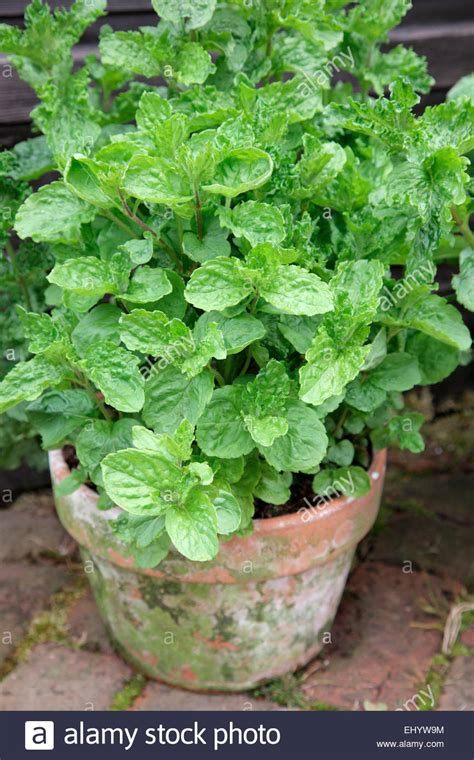 mint mentha spicata crispa growing in terracotta pot stock photo royalty free image