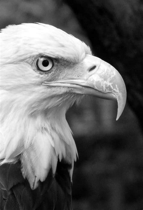 black white eagle wallpaper  iphone