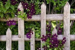 Clematis on Picket Fence - Traditional - Landscape ...